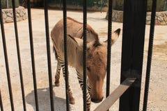 Zebras στο ζωολογικό κήπο Στοκ φωτογραφίες με δικαίωμα ελεύθερης χρήσης