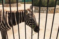 Zebras στο ζωολογικό κήπο Στοκ φωτογραφία με δικαίωμα ελεύθερης χρήσης