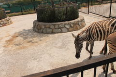 Zebras στο ζωολογικό κήπο Στοκ Φωτογραφίες