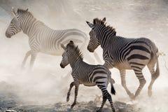 Zebras στο τρέξιμο Στοκ φωτογραφίες με δικαίωμα ελεύθερης χρήσης