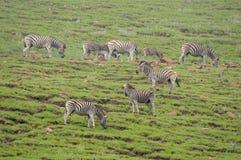 Zebras στο χρυσό εθνικό πάρκο Χάιλαντς πυλών Στοκ φωτογραφίες με δικαίωμα ελεύθερης χρήσης