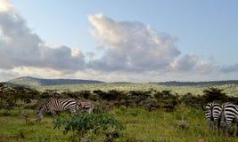 Zebras στο maasaimara Στοκ Εικόνες