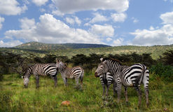 Zebras στο maasaimara Στοκ φωτογραφίες με δικαίωμα ελεύθερης χρήσης