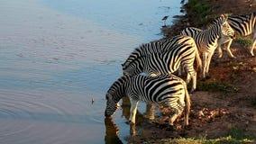 Zebras στο waterhole απόθεμα βίντεο
