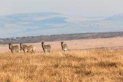 Zebras τέσσερα άγρυπνη άγρια φύση τοπίων Στοκ Εικόνες