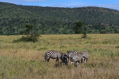 zebras της Αφρικής στοκ φωτογραφία με δικαίωμα ελεύθερης χρήσης