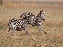 zebras τρεξίματος Στοκ Φωτογραφία