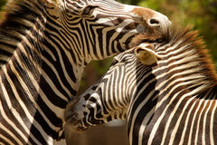 zebras φιλήματος Στοκ Εικόνα