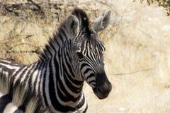 Zebras Fotos de Stock