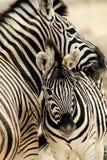 Zebras Στοκ φωτογραφία με δικαίωμα ελεύθερης χρήσης