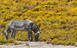 Zebras. 2 zebras on yellow background Royalty Free Stock Photography