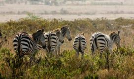 Zebras Royalty-vrije Stock Foto's
