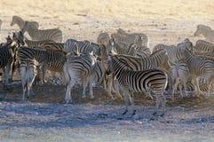 Zebras Stockfotografie