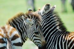 Zebras Foto de Stock Royalty Free