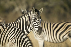 Zebras. Group of zebra one looking at camera Royalty Free Stock Images