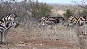 Zebras filme