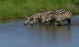Zebras. A group of zebras drinking in the river,serengeti,tanzania Stock Photos