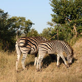 Zebras. In Sabi Sands Game Reserve, South Africa Stock Photo
