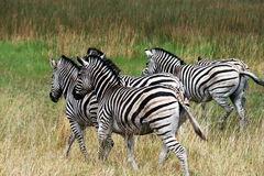 Zebras. A group of zebras in the savanna royalty free stock photo