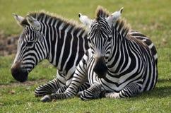 zebras Στοκ Φωτογραφία