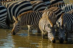 Zebras Royalty Free Stock Images