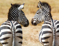 Zebras. In free nature in Africa Stock Photos