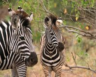 Zebras Stockbild