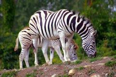 Zebras 2. Zebra and baby zebra Royalty Free Stock Images