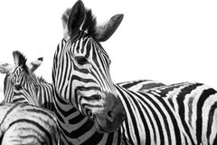 Zebras. A pair of zebras standing against a white background Royalty Free Stock Photography
