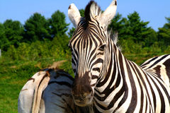 Zebras. Walking in a sunny day close-up Royalty Free Stock Image