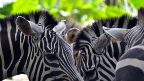 Zebras. Tight crop of zebra heads Royalty Free Stock Photography