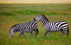 Zebras Stock Images