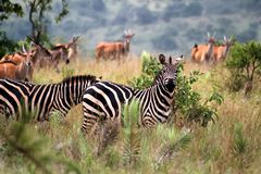 Zebras. In the Akagera National Park in Rwanda royalty free stock photos