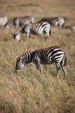 Zebras Royalty-vrije Stock Afbeeldingen