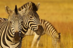 Free Zebras Royalty Free Stock Images - 2465619