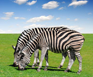 Zebras. Two zebras in pasture with blue sky Royalty Free Stock Images