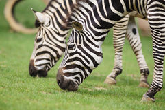 Zebras. Two zebras eating grass in fields Royalty Free Stock Photography