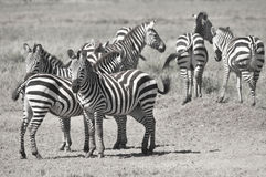 Zebras. Serengeti Tanzania. The Serengeti hosts the largest mammal migration in the world, which is one of the ten natural travel wonders of the world Royalty Free Stock Image