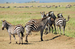 Zebras. Serengeti Tanzania. The Serengeti hosts the largest mammal migration in the world, which is one of the ten natural travel wonders of the world Stock Photography