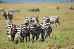 Zebras. Serengeti Tanzania. The Serengeti hosts the largest mammal migration in the world, which is one of the ten natural travel wonders of the world Royalty Free Stock Photo