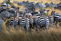 Zebras. Some zebras walk on the grasslands Royalty Free Stock Photos