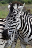 Zebras. Zebra head next to another zebras body stock image