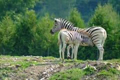 Zebras 3. Zebra and baby Royalty Free Stock Photos