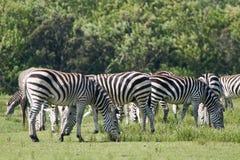Zebras 3 Stock Images