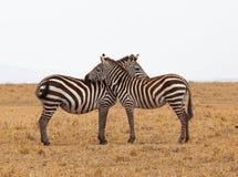 2 zebras Royalty-vrije Stock Foto's