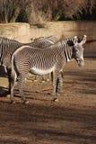 Zebras Imagens de Stock Royalty Free