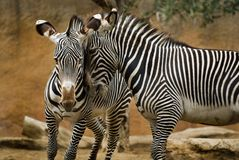 Zebras Foto de Stock Royalty Free