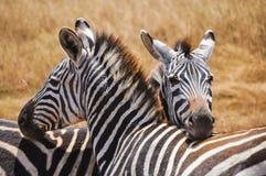 Zebras Stock Afbeeldingen