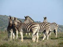 Zebras. These zebra were interested in as as we watched them Stock Photo