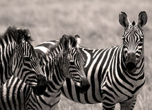 Zebras. Zebra, stripes, zebras, safari, jungle, savanna, animal, color, colors, stripe, species, wildlife, heat, food, sun, vacation, holiday, summer, trip, hike royalty free stock photography
